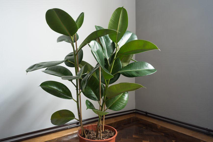 Фикус эластичный — комнатное растение, которое лучше растёт рядом с окном.