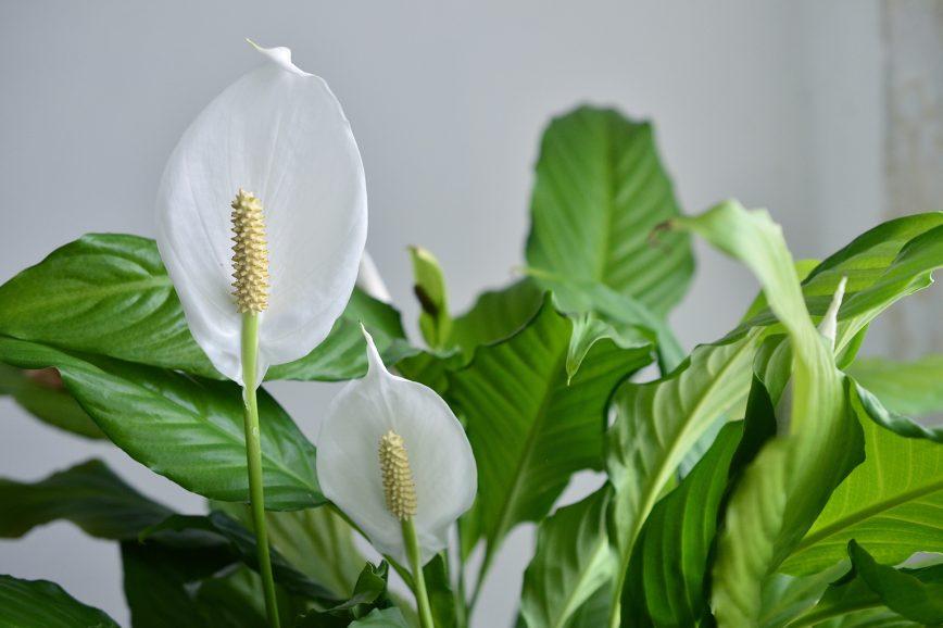 Спатифиллум — комнатное растение, которое цветёт весной и летом.