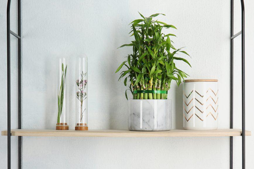 Драцена Сандера, или «счастливый бамбук» — комнатное растение, которое не любит солнечных лучей.