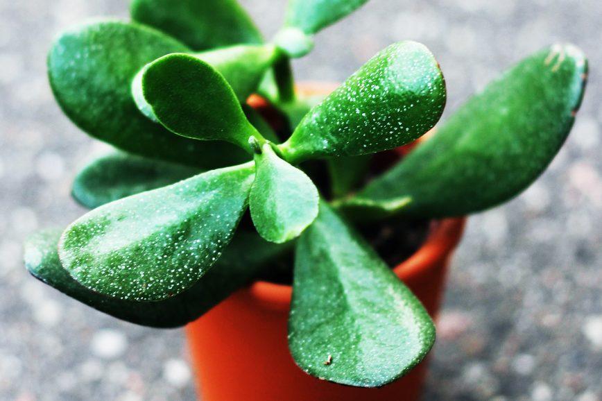 Крассула, или толстянка — идеальное домашнее растение для выращивания на подоконнике