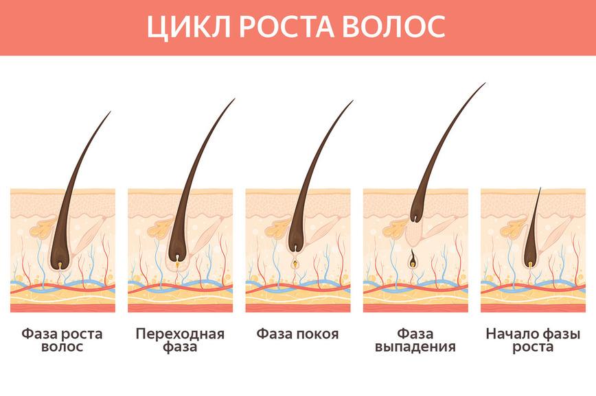Цикл роста волос